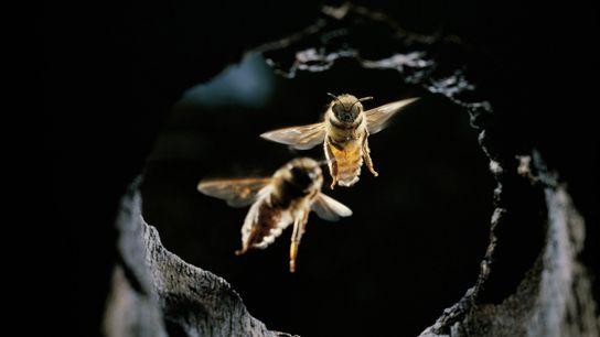 Östliche Honigbienen
