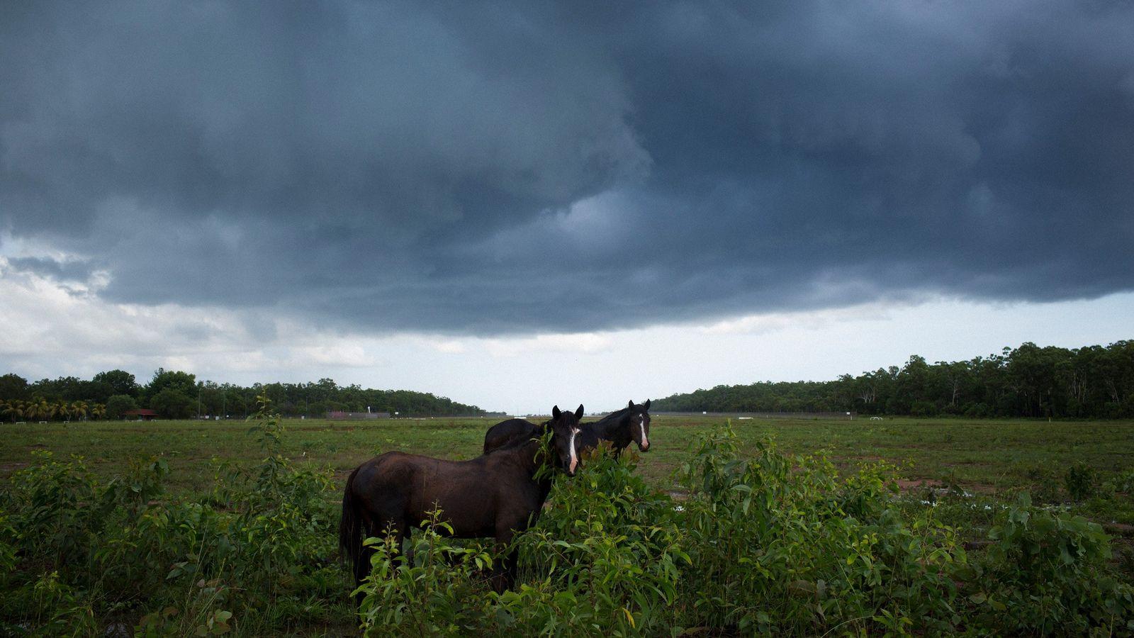 Wilde Brumbys – verwilderte Hauspferde – weiden in der Nähe eines kleinen Flughafens in der Gemeinde ...