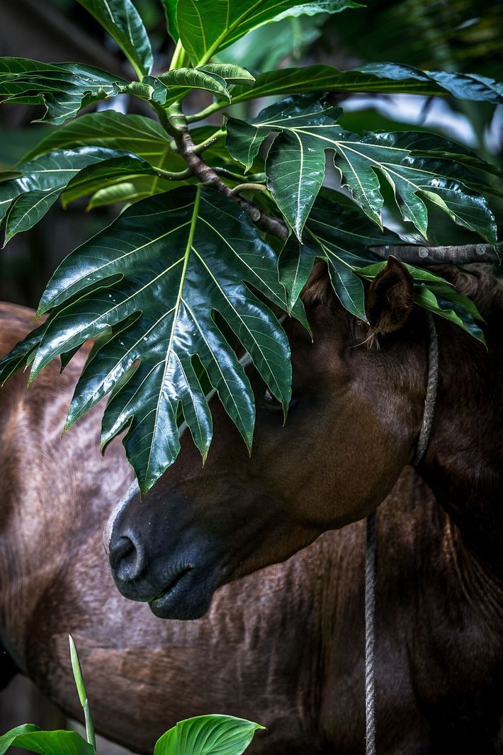 Pferd der Marquesas