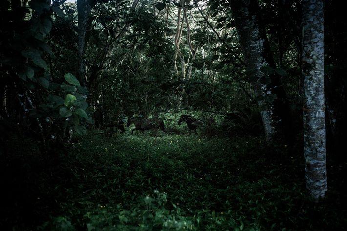 Wildpferde von Hiva Oa