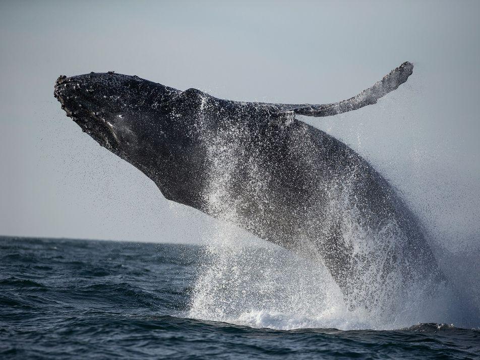 Lockdown als Segen: Stille Meere reduzieren Stress bei Walen
