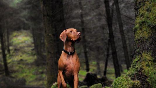 Verspielte Urwölfe waren der Ursprung unserer Haushunde