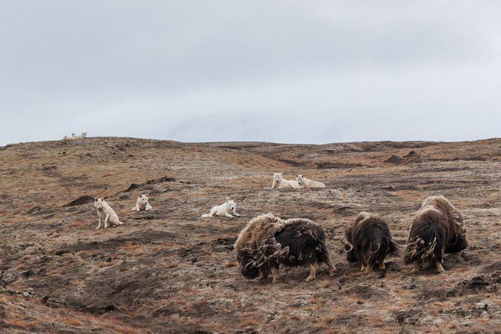 Die Wölfe haben ein Auge auf drei männliche Moschusochsen geworfen. Um eines der bis zu 300 ...