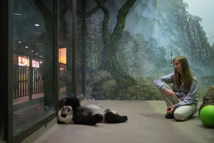 Pandajungen