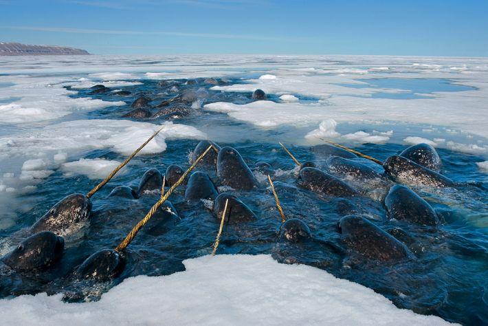 Narwale ruhen sich in einem Loch im Meereis von Lancaster Sound im kanadischen Territorium Nunavut aus.