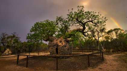 Galerie: 19 imposante Baumgiganten aus aller Welt