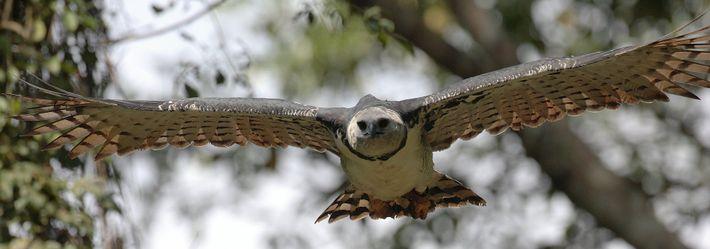 Harpyie auf der Jagd