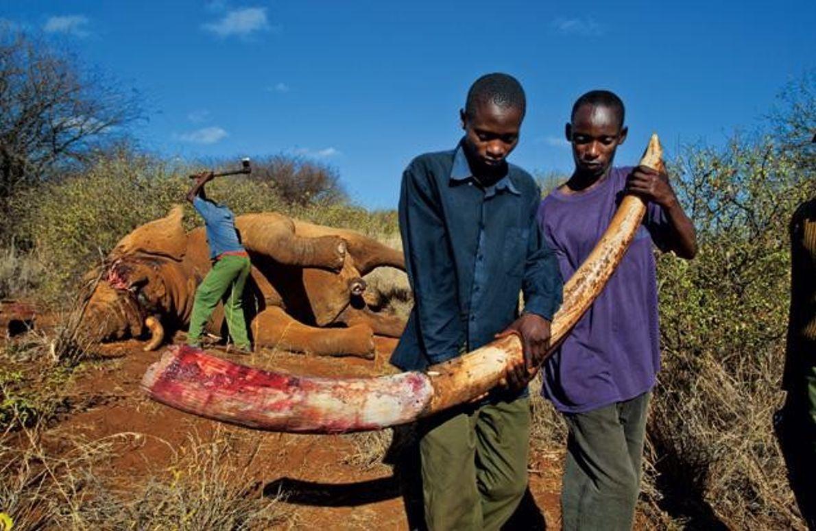 Illegal getöteter Elefantenbulle