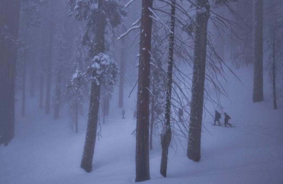 Im Wald der Riesenmammutbäume