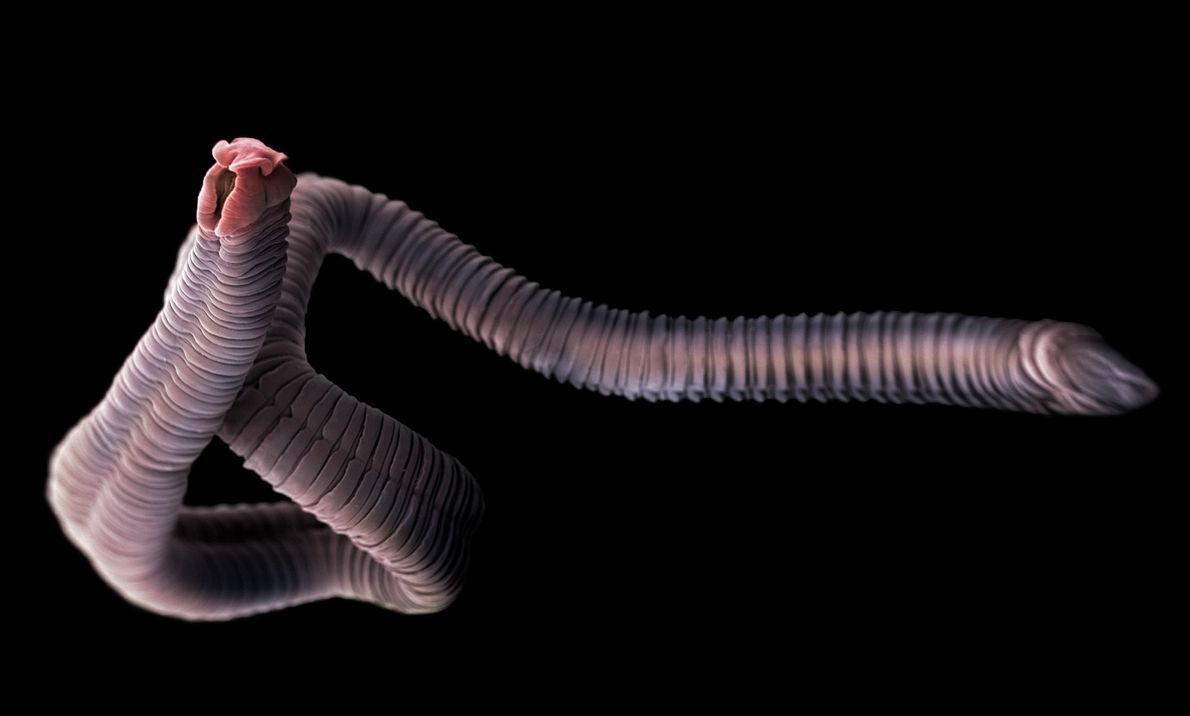 Bandwurm