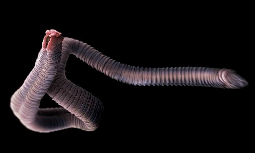 Bandwürmer sind Parasiten, die im Darm von Menschen und Tieren leben, darunter auch in vielen Fischarten. ...