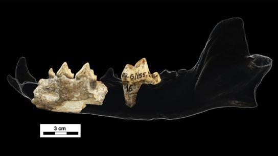 Zähne und ein Kieferfragment, entdeckt in der 1,85 Millionen Jahre alten Ausgrabungsstätte in Dmanissi in Georgien. ...