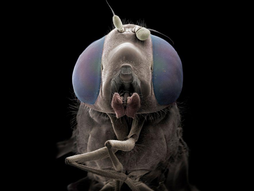Mit seitwärts gerichteten Fühlern und offenem Maul scheint diese Schwebfliege in der Makroaufnahme richtig Charakter zu ...
