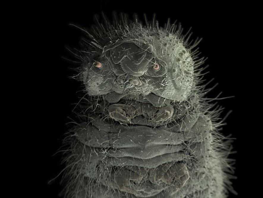 Diese Raupe, die hier 1000-fach vergrößert zu sehen ist, fand Wiik-Nielsen in ihrem Garten. Das Tierchen ...