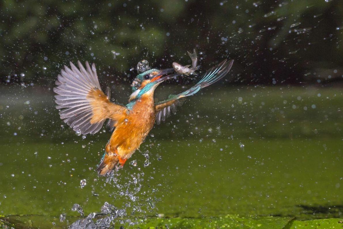 Fliegender Edelstein: Mit seinem bunt schillernden Gefieder ist der Eisvogel unverwechselbar. Der fischfressende Vogel ist selten, ...
