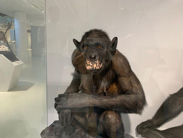 Altersflecken Schimpansen