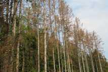Forst bei Düsseldorf mit Dürreschäden: Nadelbäume leiden besonders.