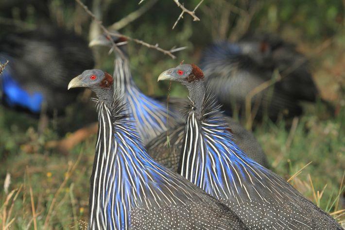 Geierperlhühner pflegen eine – für Vogel ungewöhnlich – vielschichtige Sozialstruktur.