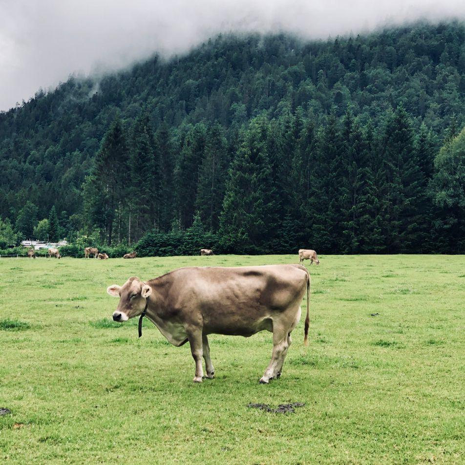 Zehn Fakten über Kühe