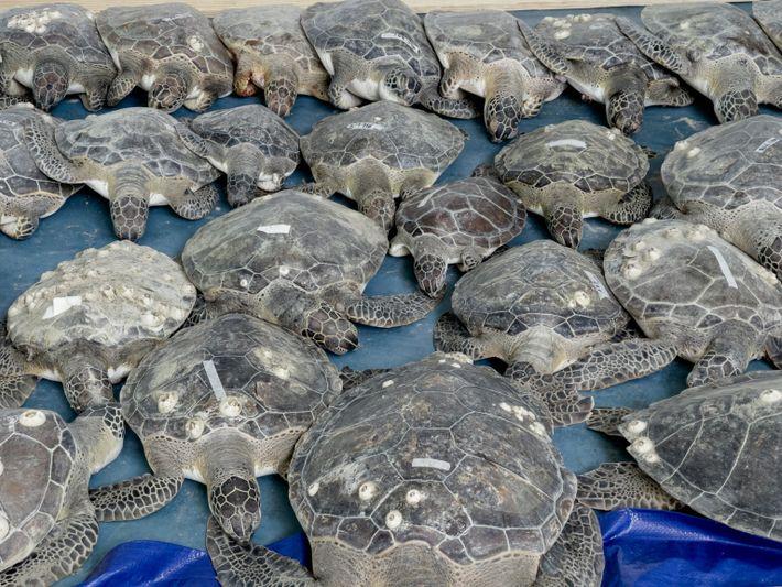 Grüne Meeresschildkröten in Kältestarre