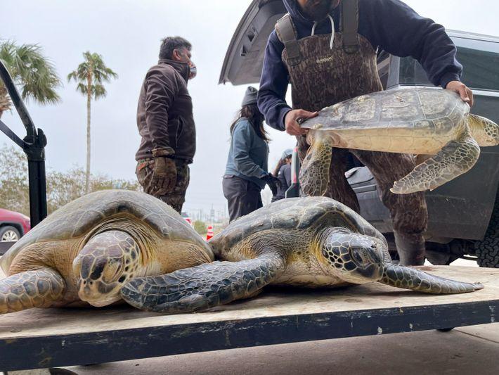 Schildkröten Texas