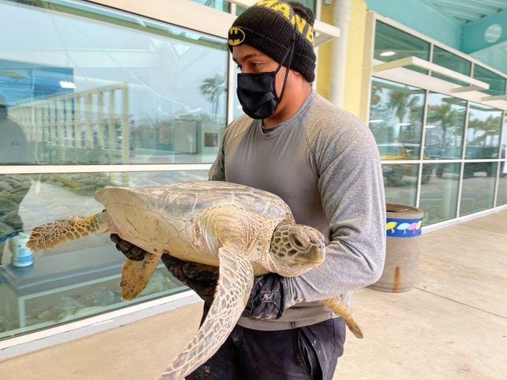 Grüne Meeresschildkröte Texas