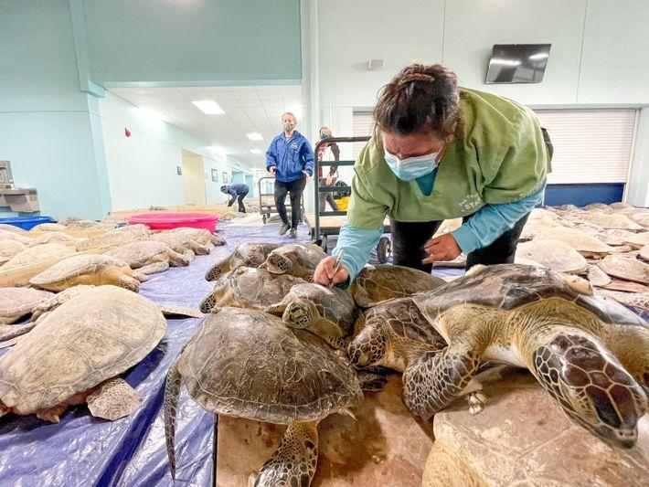 Grüne Meeresschildkröten im Kongresszentrum