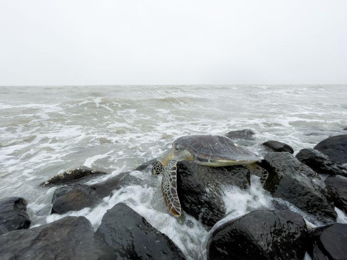 Meeresschildkröte South Padre Island