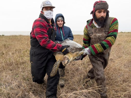 Kälteeinbruch in Texas: Tausende erstarrte Schildkröten gerettet