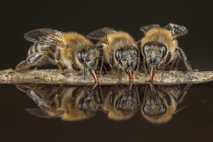 Honigbienen tanken Wasser