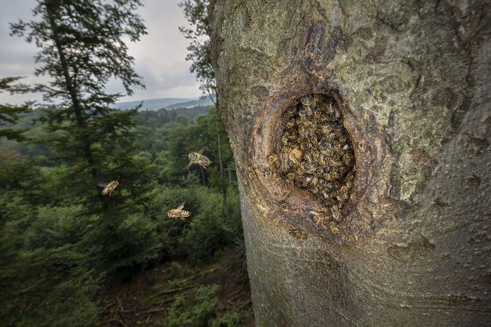 Wilde Biene Bienennest