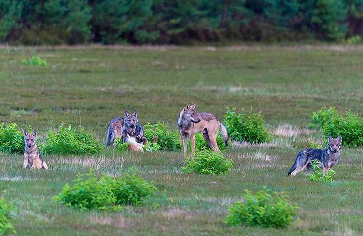 Ein Jährlingswolf passt auf seine jüngeren Geschwister auf - er ist gewissermaßen ihr Babysitter. So haben …