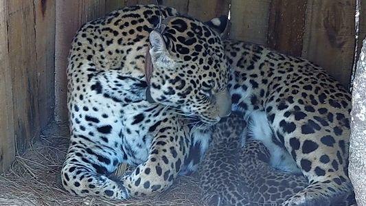 Zum ersten Mal seit 100 Jahren: Jaguarnachwuchs im Nationalpark