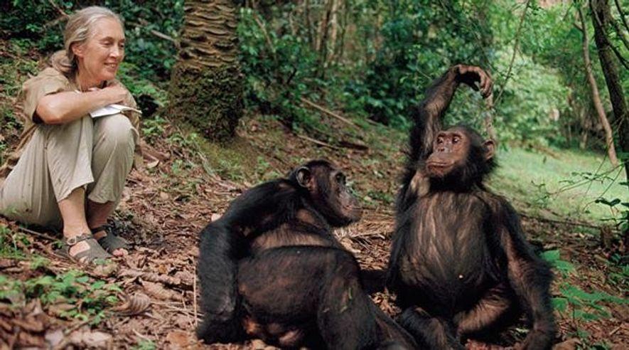 Jane Goodall: Der gute Geist von Gombe