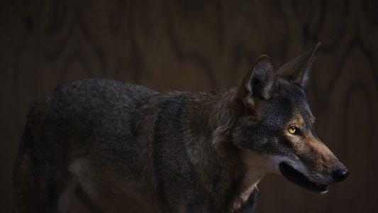 Die letzten wilden Rotwölfe der Welt