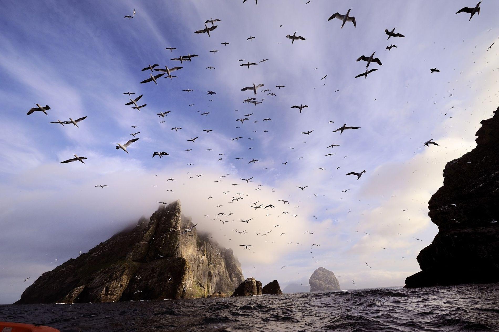 Diesen kurzen Sonnenmoment nutzen Tölpel zum Flugstart auf Boreray. Die unbewohnte Insel liegt gut sechs Kilometer vom St.-Kilda-Archipel entfernt und war trotz ihrer rauen Seite und der gefährlichen Anfahrt ein beliebter Jagdgrund für die Menschen von St. Kilda, die hier auf die Klippen kletterten und Vögel fingen.