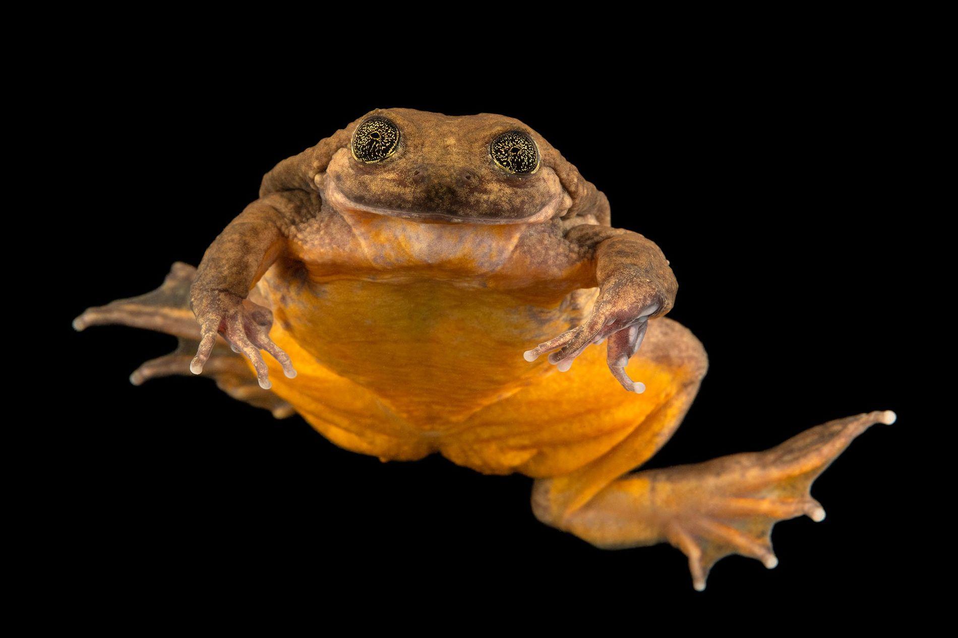 Juliet, eine kürzlich entdeckte Vertreterin der Wasserfroschart Telmatobius yuracare, scheint auf dieser Aufnahme vom 19. Januar ...