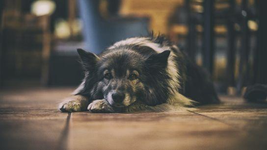 Wartender Hund liegt auf dem Boden
