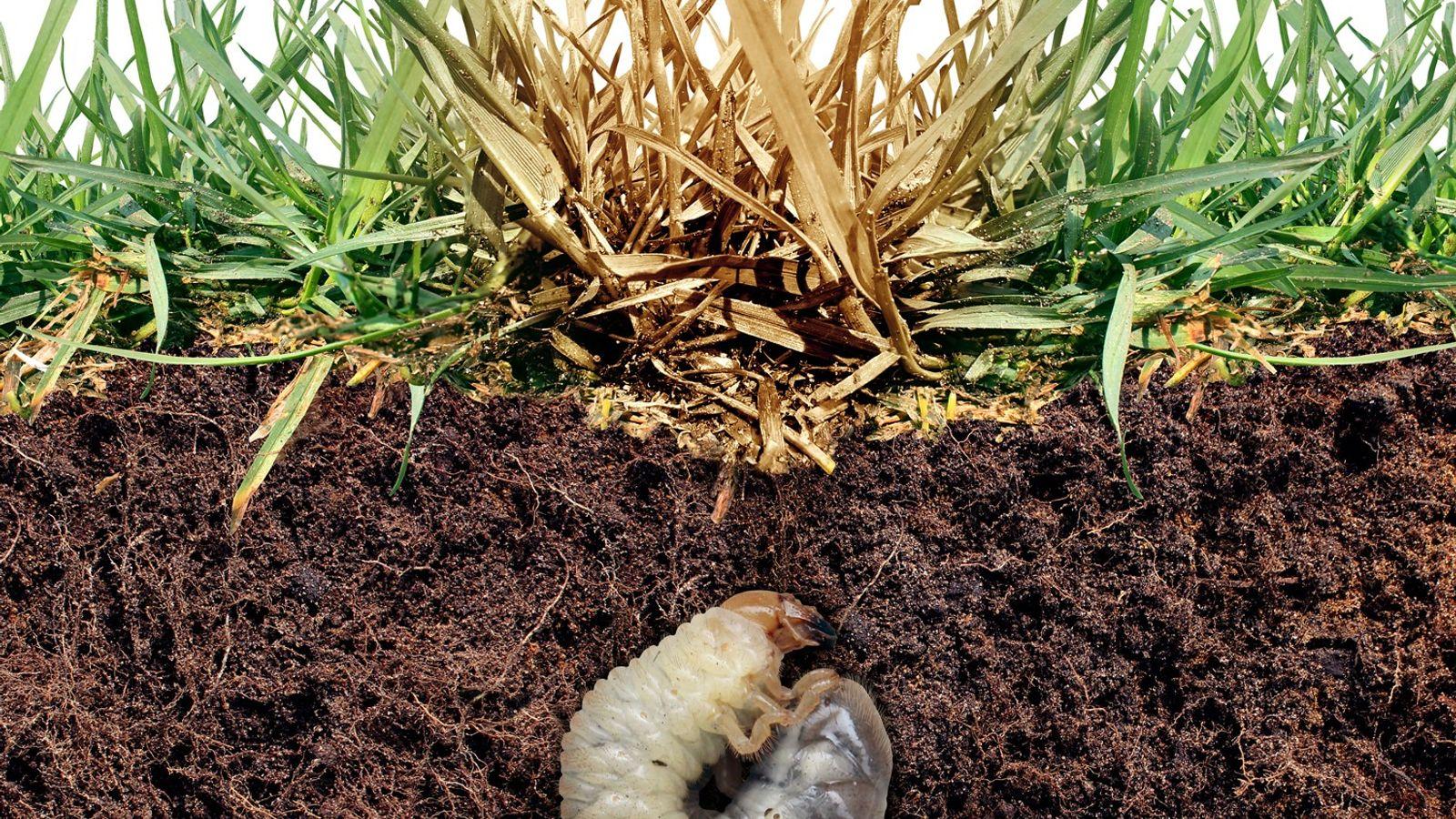 Maikäferlarve unter der Grasnarbe