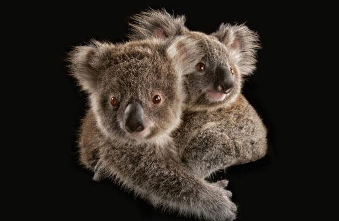 Junge Koalas