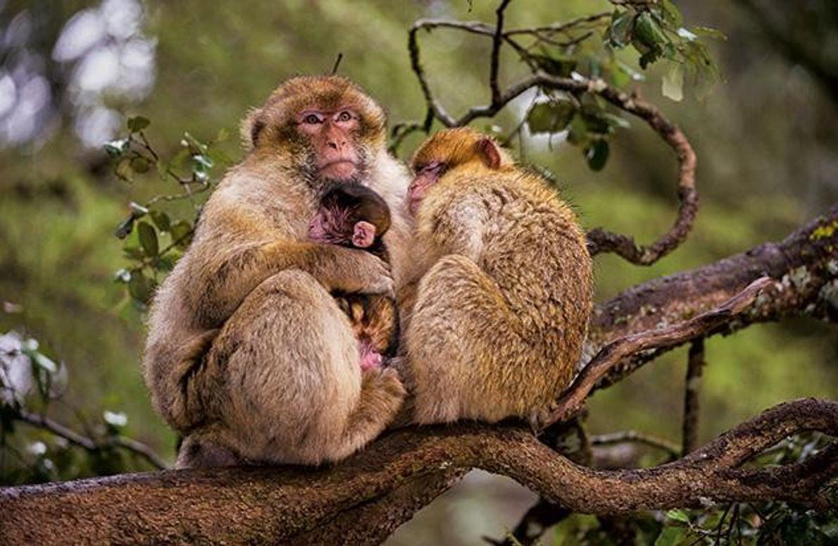 Junge Makaken mit ihrer Mutter