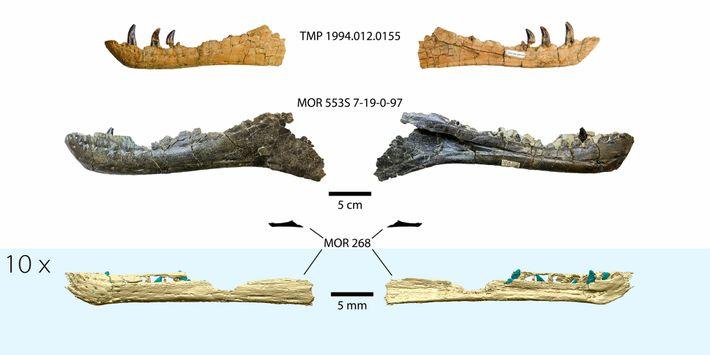 Eine 3D-Rekonstruktion des embryonalen Tyrannosaurus-Kiefers am unteren Bildrand im Vergleich zu Kieferknochen anderer bekannter Tyrannosaurier. Das ...