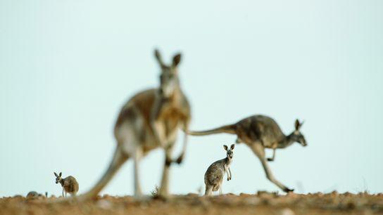 Kängurus, Australien
