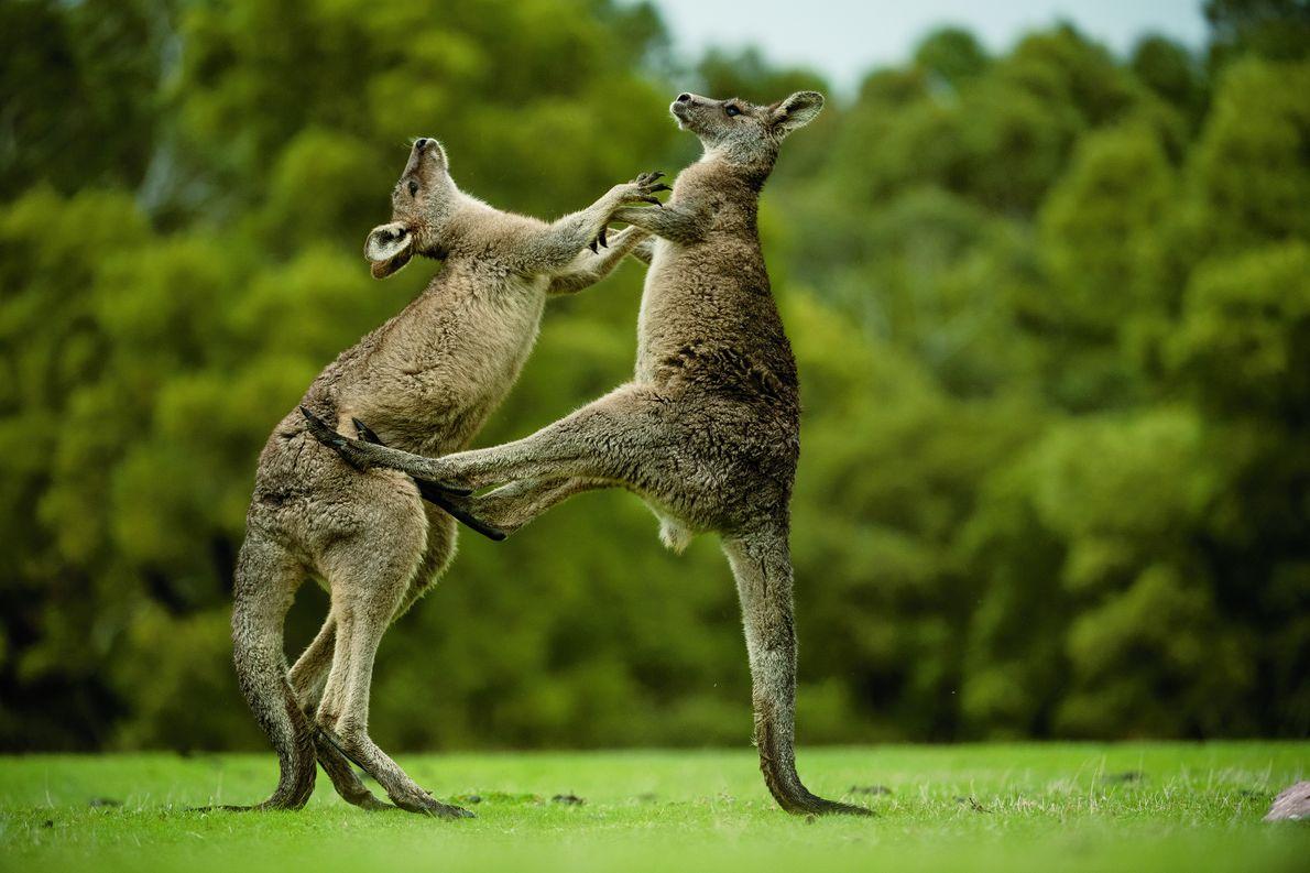 boxende Kängurus