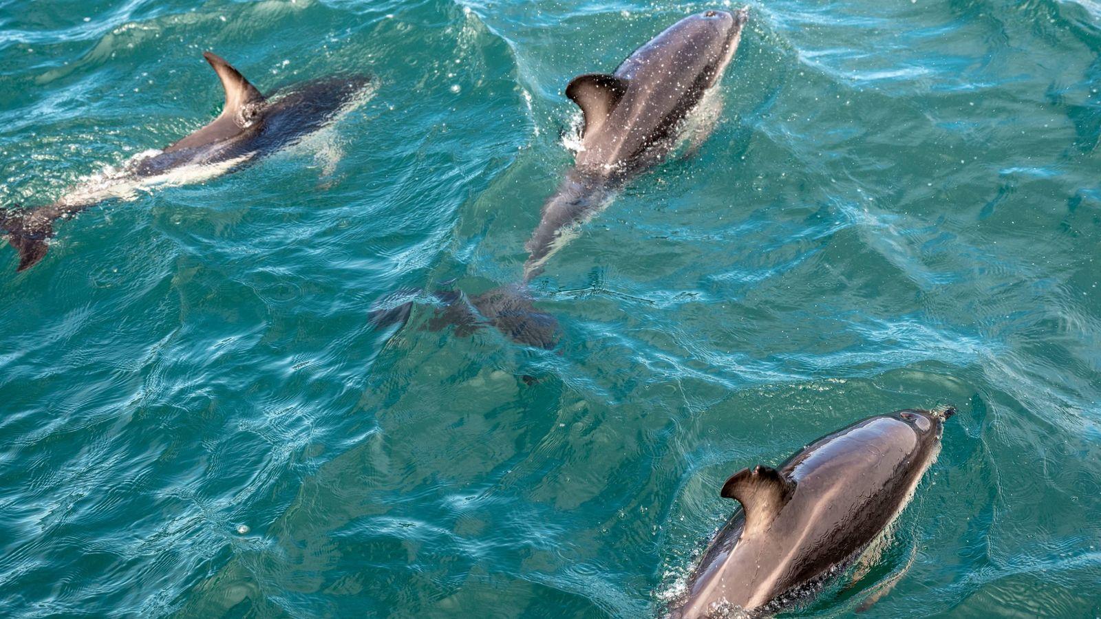 Kaikōura, eine Küstenstadt auf der Südinsel Neuseelands, ist für die zahlreichen Meeresbewohner vor ihren Toren bekannt. ...