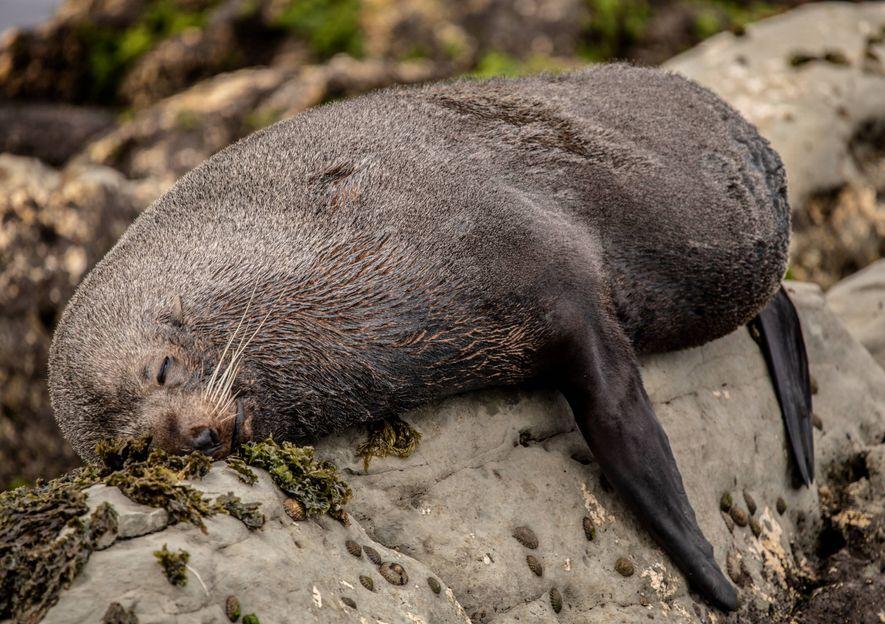 Ein Seebär hält ein Nickerchen an Land. An der Küste von Kaikōura begegnet man überall Meeresbewohnern.
