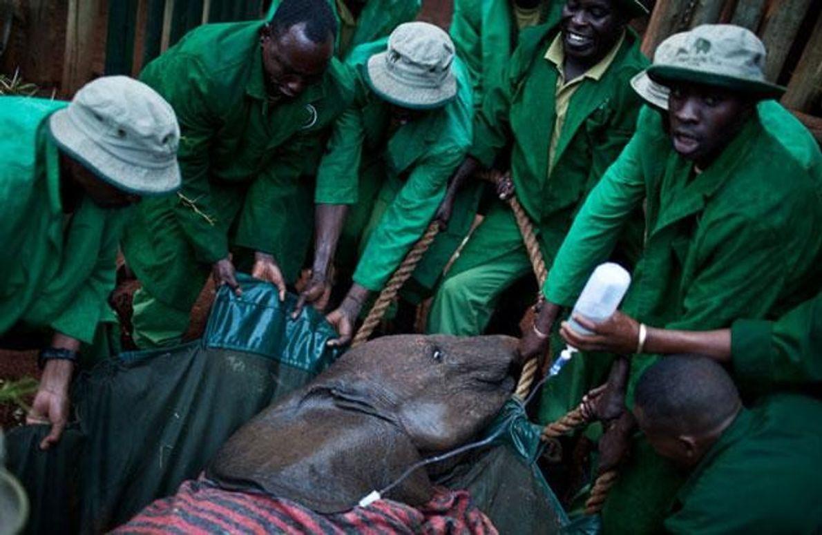 Trotz Decken und Infusionen starb diese zwei Jahre alte Waise kurz nach ihrer Einlieferung. Manche Tiere, …