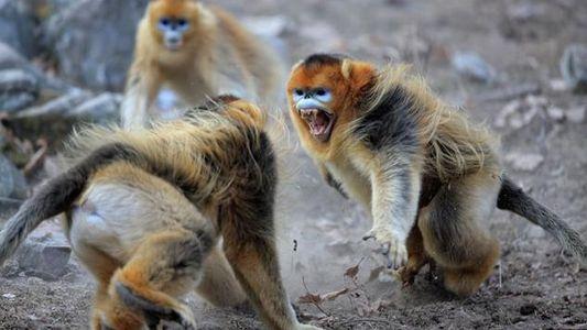 Galerie: Der Affe, der in die Kälte ging