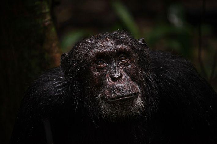 Die Schimpansen in Schutzzonen oder freier Wildbahn bleiben ihr Leben lang aktiv und altern gesünder als ...