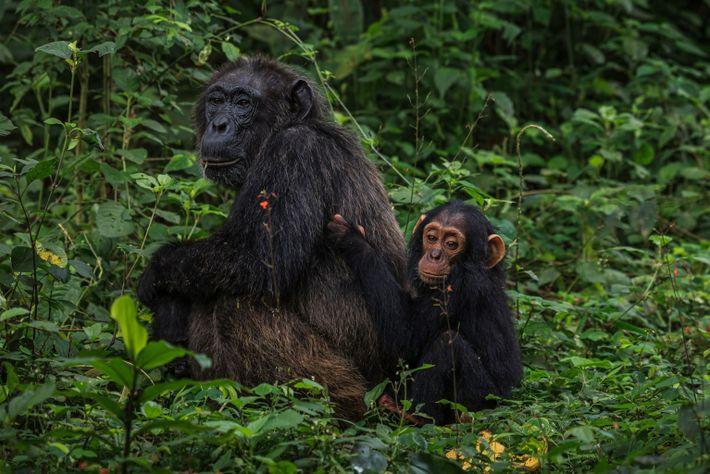 Seit 1987 beobachten Wissenschaftler die wilden Schimpansen in der Kanyawara Region des Kibale-Nationalparks. Ihre Erkenntnisse helfen ...